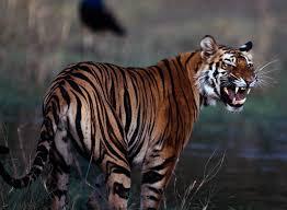 bouncing back nepal s tigers survive civil turmoil national