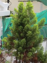 reviving green traditions a green christmas tree greenmoksha