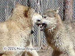 Angry Wolf Meme - angry wolf picture