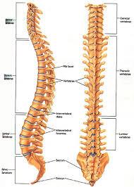 Human Vertebral Column Anatomy Skeletal System U2013 Skeletons Joints U0026 Bones U2013 Part One