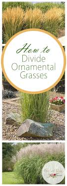 how to divide ornamental grasses bees and roses