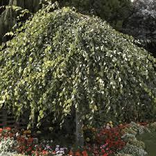 weeping birch garden express