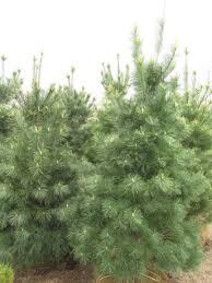 native screening plants fast growing evergreen tree list dammanns
