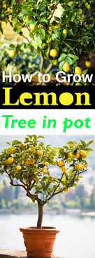 Fruit Garden Ideas How To Grow A Lemon Tree In Pot Care And Growing