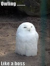 White Owl Meme - 156 best owls images on pinterest funny images funny photos and