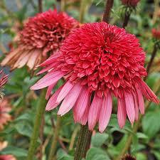 echinacea flower echinacea supreme elegance white flower farm