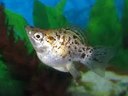 Types Of Aquarium Fish Molly Fish The Care Feeding And Breeding Of Mollies Aquarium