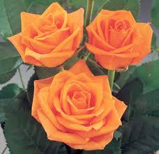 orange roses choose 500 stems roses at wholesale