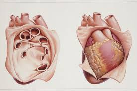 Anatomy Of The Heart Lab Pericardium Anatomy Of The Heart