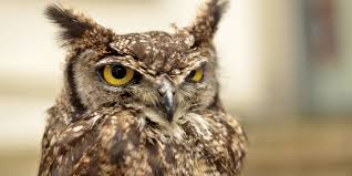 Owl Lovers by Angry Owl Is Terrorizing Oregon Joggers Huffpost
