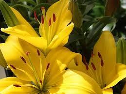 Yellow Lilies Verna And Bob U0027s Weblog Yellow Asian Lilies