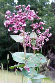 native nevada plants 33 best asclepias images on pinterest native plants cool plants
