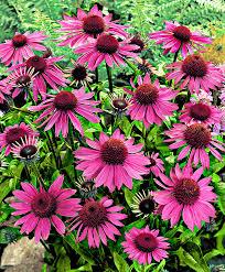 plante vivace soleil achetez maintenant une plante vivace rudbeckie pourpre acheter