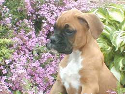 boxer dog with tail about boxer dog breed