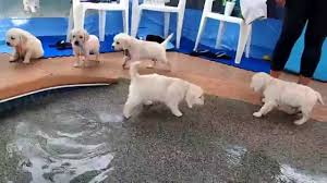 eight english cream golden retriever puppies first swim u0026 jump
