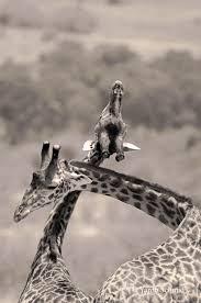 giraffes u2014 ys wildlife photography