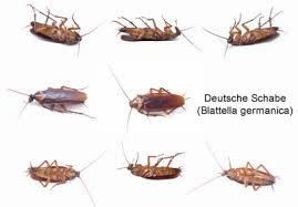 ungeziefer küche kakerlaken bekämpfen was tun bei kakerlaken im haus oder in der