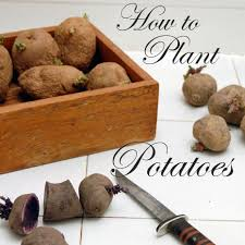 Container Gardening Potatoes - how to plant potatoes in straw container planting container