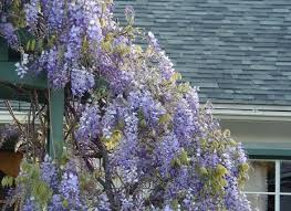 Purple Flower On A Vine - i u0027m branching out into archaeology blame the wisteria fine