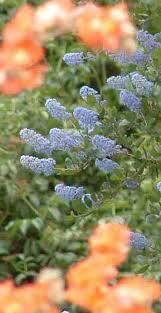Flower Area - california lilac ceanothus