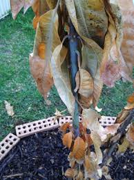 Transplant Fruit Trees - forum transplanted mango trees