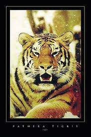 best 20 tiger poster ideas on pinterest tiger illustration