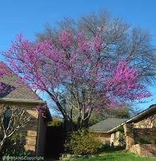 25 unique oklahoma redbud ideas on small trees for