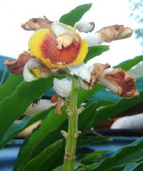 australian native shade plants plants for shade understory plants