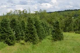 our trees woodlake tree farm the best selection of conifers in