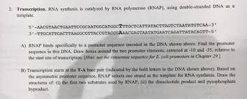 transcription rna synthesis is catalyzed by rna p chegg com