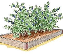 growing berries and asparagus in raised beds blueberries