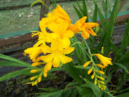 Bestyellow by Buy Crocosmia Plants In Variety By Mail Order