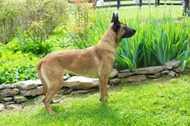 belgian shepherd ears the belgian malinois want one global k9 protection