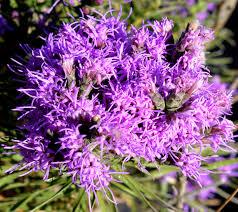 native plants in kansas 52 best kansas wildflowers images on pinterest wildflowers