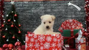 adorable maltese puppy wears santa hat guards