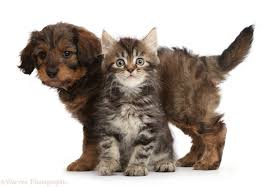 pets tabby persian cross kitten and goldendoodle puppy photo