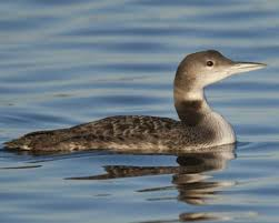 common loon audubon field guide