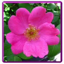 Flowers In Bismarck Nd - images of state flowers north dakota wild prairie rose state