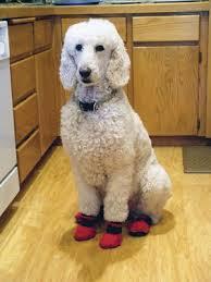 122 best dogs poodles images on standard poodles