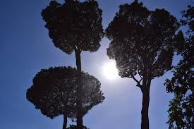 free photo rome tree sky canopy nature free image on