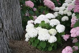 invincibelle wee white smooth hydrangea hydrangea arborescens