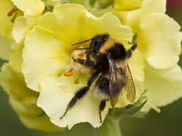 24 incredible bumblebee images bee lovers should see saga