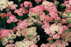 24 best native iowa plants images on pinterest native plants achillea growing yarrow in the perennial garden