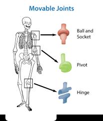 the skeletal system ck 12 foundation