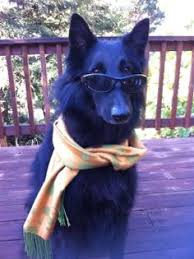 belgian sheepdog california belgian sheepdog information pictures and videos dbs