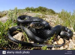 sicily italy snake hierophis viridiflavus animal animals reptile