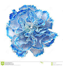 blue carnations blue carnation bouquet search carnations