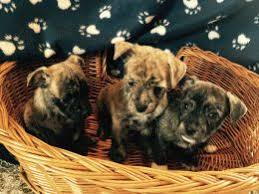 pug x australian shepherd mixed breed dogs and puppies for sale in nottingham pets4homes