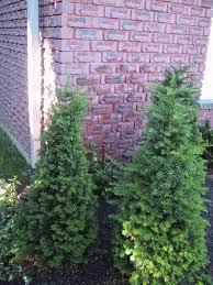 garden makeover u2013 part 15 u2013 planting the climbing hydrangea