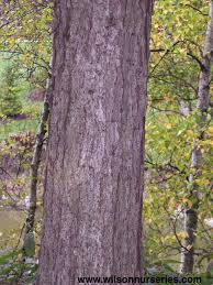 White Oak Tree Bark Swamp White Oak Wilson Nurseries